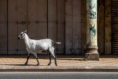 Ziege in der Stadt in Goa stockfoto
