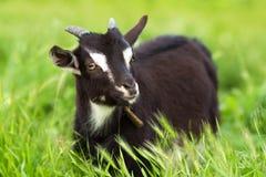 Ziege, die auf dem Rasen weiden lässt Stockfotos