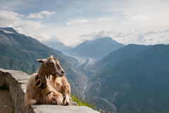 Ziege, die auf einer Wand in der Schweiz sich entspannt lizenzfreies stockfoto
