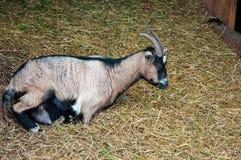 Ziege, die auf Stroh stillsteht stockfotografie