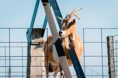 Ziege, die axiously Lebensmittel wartet, um aufzukommen der Gurt stockfotografie