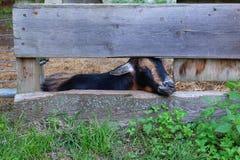 Ziege, die durch Zaun späht stockbild