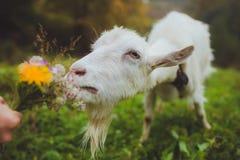 Ziege, die einen Blumenstrauß von Blumen isst Stockfotos