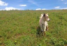 Ziege, die in einer Wiese weiden lässt Lizenzfreies Stockbild