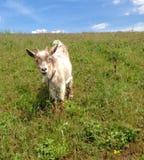 Ziege, die in einer Wiese weiden lässt Lizenzfreie Stockfotografie