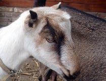 Ziege, die in einer Wiese weiden lässt Lizenzfreie Stockbilder