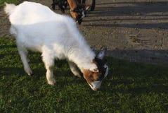 Ziege, die in einer Wiese weiden lässt Lizenzfreies Stockfoto