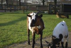 Ziege, die in einer Wiese weiden lässt Lizenzfreie Stockfotos