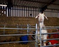Ziege, die entlang der Kamera hinter Metallgeländer in einer Bauernhofscheune anstarrt lizenzfreie stockfotos