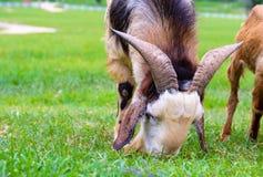 Ziege, die Gras im Bauernhof isst Stockfoto