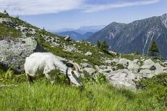 Ziege, die Gras im Plan de l ` Aiguille isst Stockfotografie