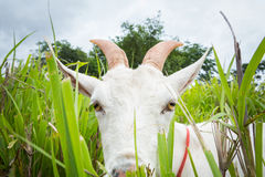 Ziege, die Gras isst Stockfotografie