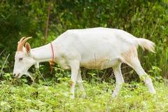 Ziege, die Gras isst Lizenzfreie Stockbilder