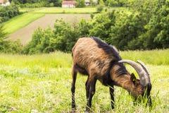 Ziege, die Gras isst stockfoto