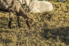 Ziege, die Gras an Paonia-Bauernhof isst Stockbild