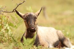 Ziege, die im Gras sich entspannt Lizenzfreies Stockfoto