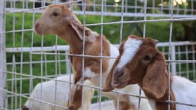 Ziege, die in Käfig einzieht stock video footage