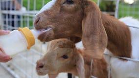 Ziege, die in die Landwirtschaft im Käfig einzieht stock video footage