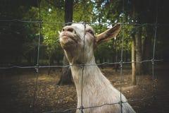 Ziege, die sonderbare Gesichter macht Stockfoto