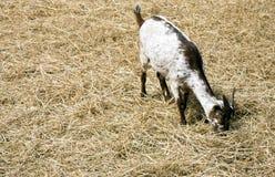 Ziege, die Stroh isst Stockbild