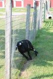Ziege, die zurück auf Zaun itching ist Stockbilder