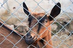 Ziege hinter dem Zaun stockfotografie