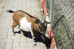 Ziege hinter einem Zaun Stockbilder