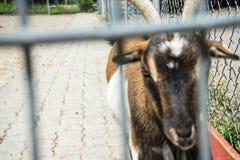 Ziege hinter einem Zaun Lizenzfreie Stockfotos
