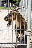 Ziege hinter einem Zaun Stockfotos