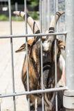 Ziege hinter einem Zaun Lizenzfreies Stockfoto