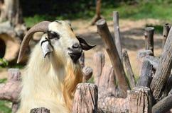 Ziege im Bauernhof Stockfoto