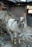 Ziege im Bauernhof Stockfotos