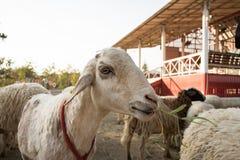 Ziege im Bauernhof Lizenzfreie Stockfotografie