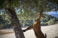 Ziege im Baum Stockfotos