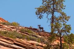 Ziege im Berg, unter Baum Naturlandschaft von Zion National Park, USA lizenzfreie stockbilder