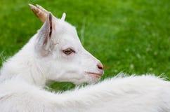Ziege im Gras lizenzfreies stockfoto