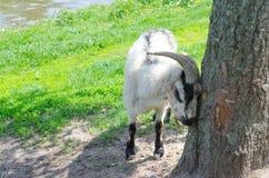 Ziege im Park über alten Baum lizenzfreies stockbild