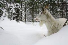 Ziege im Schnee lizenzfreie stockfotografie