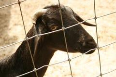 Ziege im Zoo stockfotos