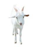 Ziege, lokalisiert auf weißem Hintergrund Stockfotografie