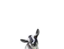 Ziege lokalisiert auf weißem Hintergrund Stockbild