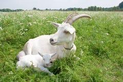 Ziege mit einem neugeborenen Kind. Stockfotografie