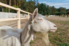 Ziege, Nahaufnahmeporträt hof Lizenzfreies Stockfoto