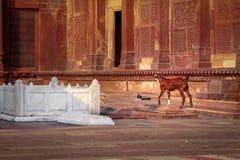Ziege nahe einem Grab in Fatehpur Sikri - Agra, Indien Lizenzfreie Stockfotos