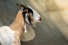 Ziege oder Südenbock in der Stadt Lizenzfreies Stockfoto