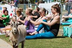 Ziege steht unter den Frauen, die Ziegen-Yoga-Klasse an der im Freien ausdehnen lizenzfreie stockbilder