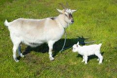 Ziege und Babyziege Stockbilder