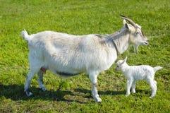 Ziege und Babyziege Stockfoto