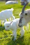 Ziege und Babyziege Lizenzfreies Stockfoto