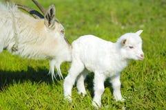 Ziege und Babyziege Lizenzfreie Stockbilder